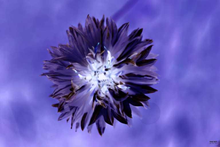 blue_flower_francphoto_180701