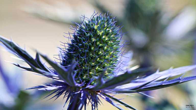 blue_flower_francphoto_180715