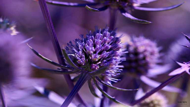 cerice_flower_francphoto_180715