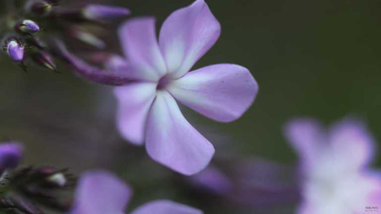 lila_blomma_francphoto_1807
