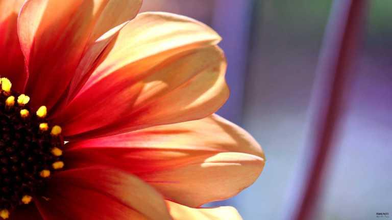 orange_flower_francphoto_1807