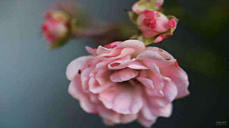 pink_roses_2_francphoto_180714