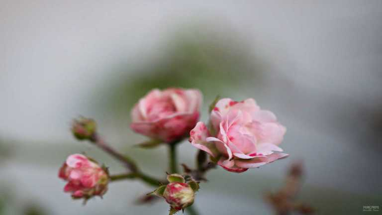 pink_roses_3_francphoto_180714