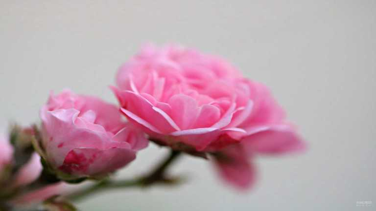 pink_roses_francphoto_180714_