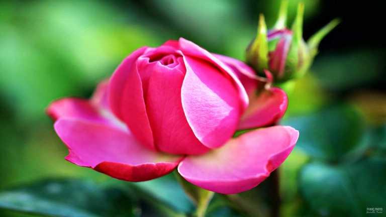 pinkrose_francphoto_180712