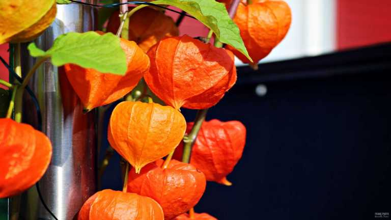 physalis_4_francphoto_180801