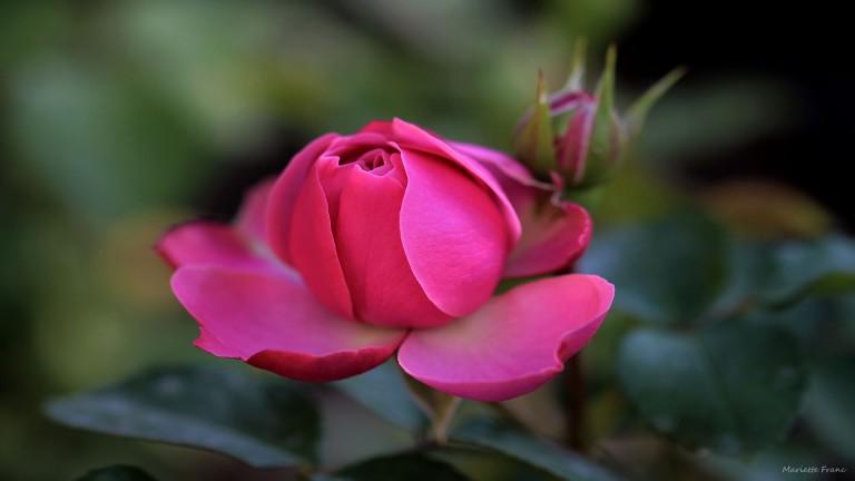 pinkrose_francphoto_180820