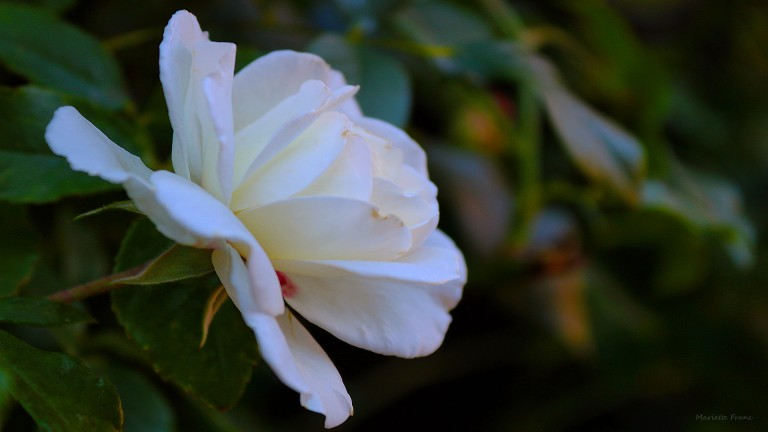 whiterose_francphoto_180820