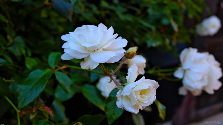 whiteroses_francphoto_180820