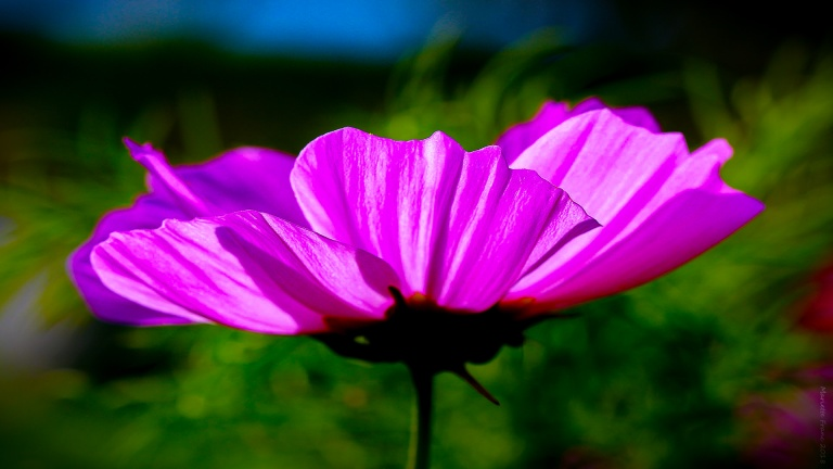 pink_flower_hornudden_francphoto_180915_press