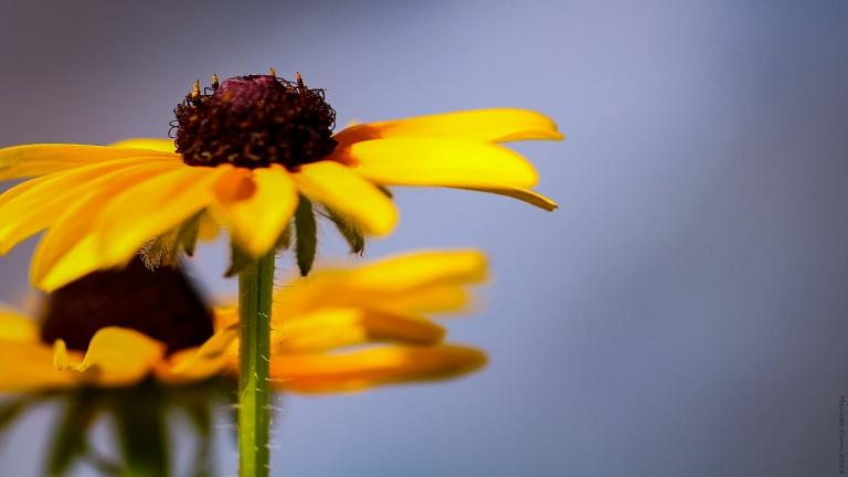 yellowflower_francphoto_180916_press